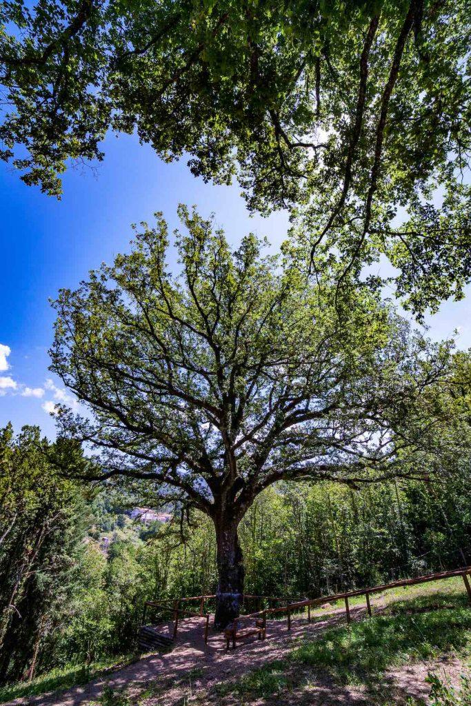 Albero Monumentale Quercia Secolare in Italia